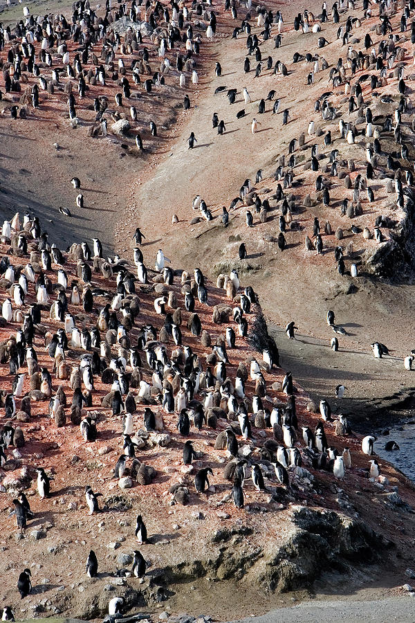 Chinstrap Penguin Photograph - Chinstrap Penguin Colony by William Ervin/science Photo Library