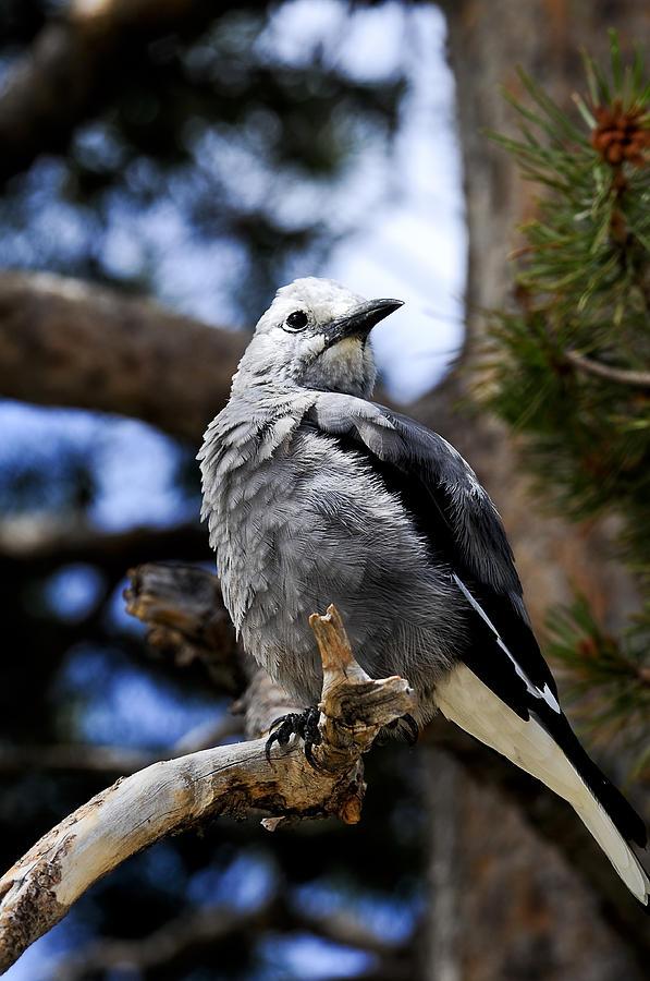 Bird Photograph - Clarks Nutcracker by Don and Bonnie Fink