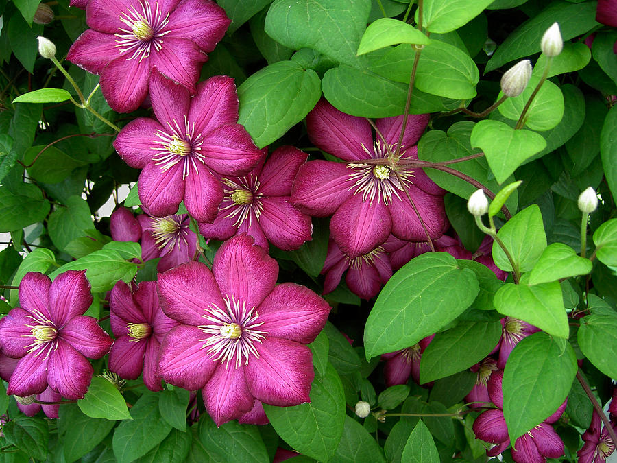 Penny Lisowski Photograph - Clematis by Penny Lisowski