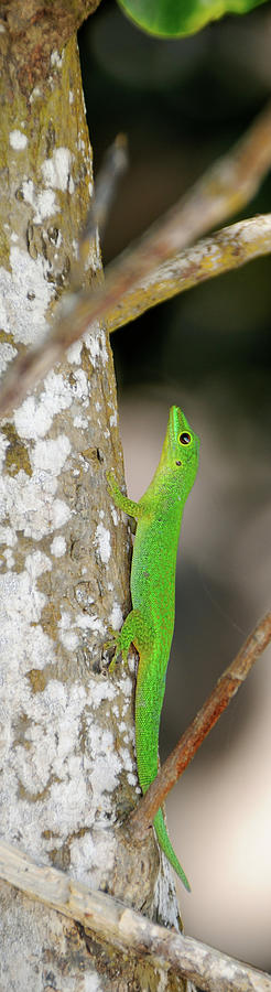 Vertical Photograph - Close-up Of Seychelles Small Day Gecko 1 by Animal Images