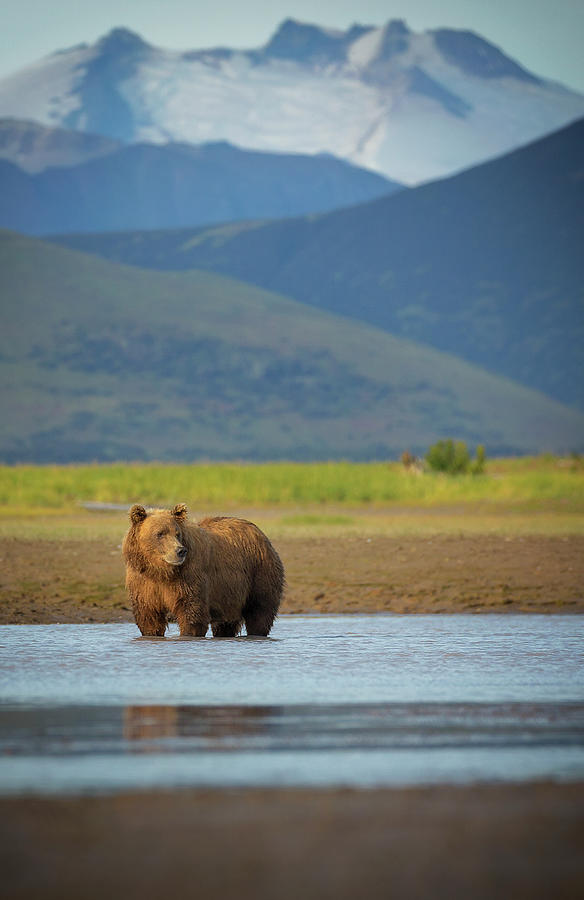 Coastal Brown Bear Photograph by Chase Dekker Wild-life Images