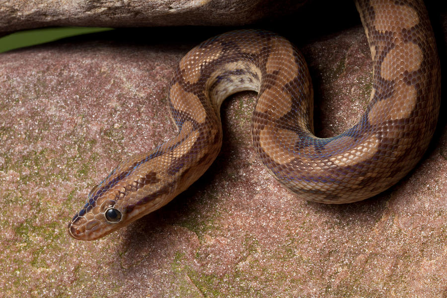 Animal Photograph - Colombian Rainbow Boa Epicrates Maurus by David Kenny