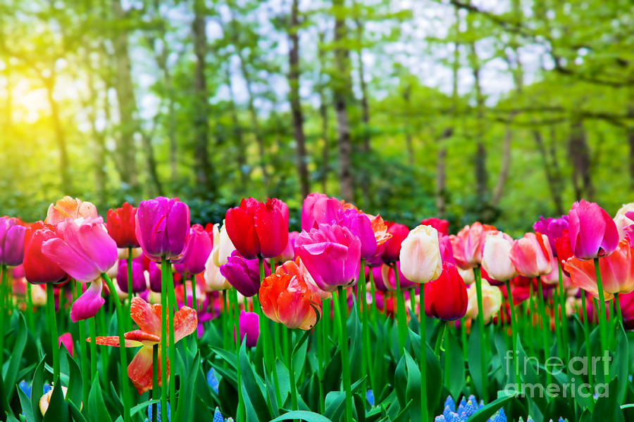Colorful Tulip Flowers In Spring Park Photograph By Michal Bednarek