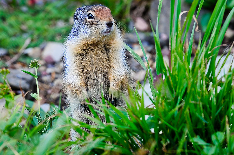 Brown Photograph - Columbian Ground Squirrel by Don and Bonnie Fink