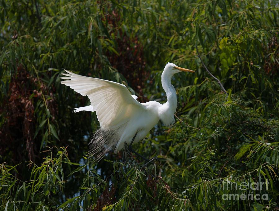 Common Egret Photograph