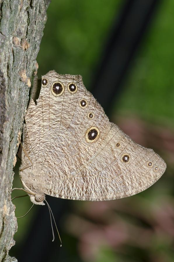 Animal Photograph - Common Evening Brown Butterfly by Science Photo Library