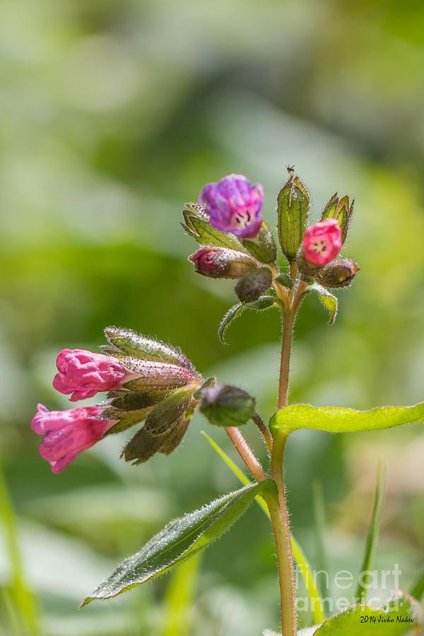 Bulgaria Photograph - Common Lungwort by Jivko Nakev