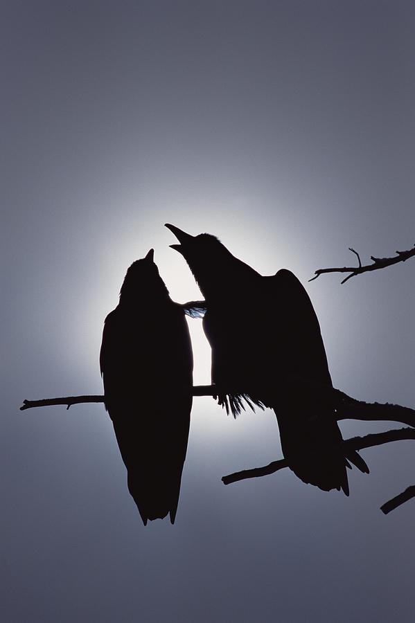 Common Raven Pair Perching Photograph by Michael Quinton