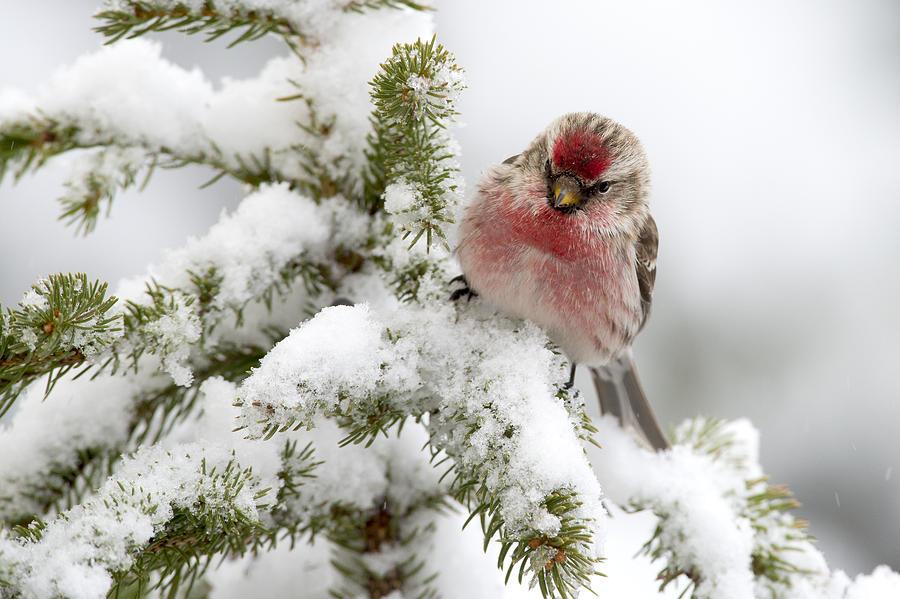 Common Redpoll Male Nova Scotia Canada Photograph by Scott Leslie