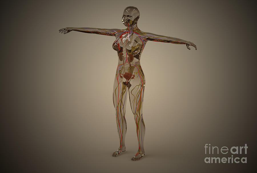 Reproductive System Digital Art - Conceptual Image Of Human Nervous by Stocktrek Images