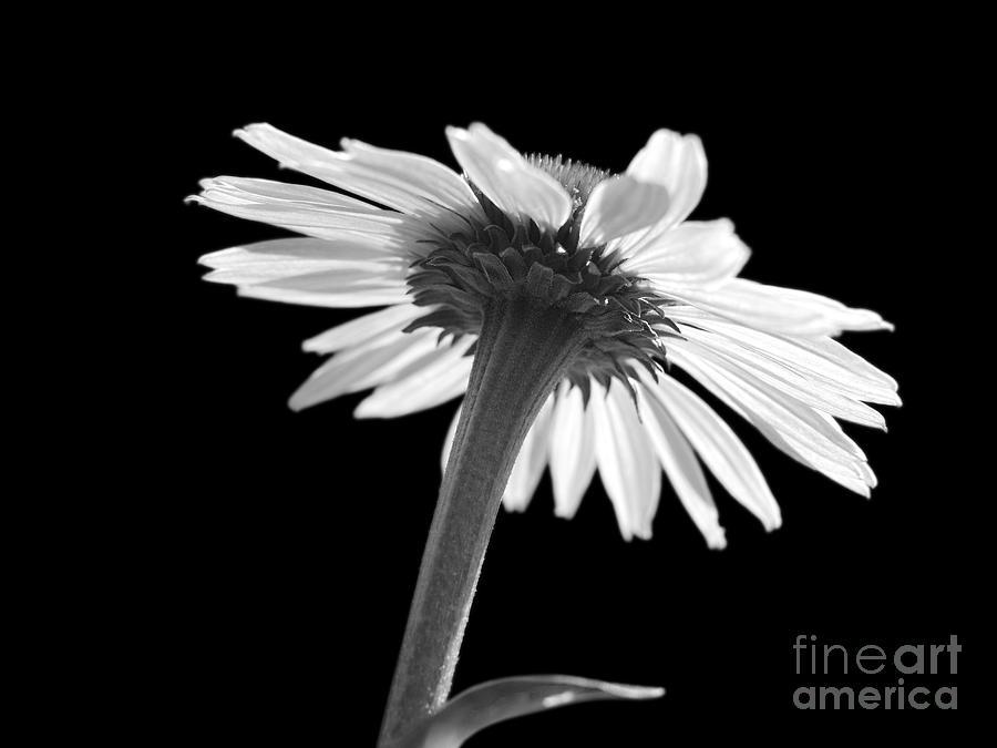 Echinacea Photograph - Coneflower by Tony Cordoza