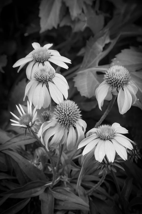 Echinacea Photograph - Coneflowers Echinacea Rudbeckia Bw by Rich Franco