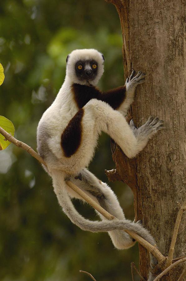 Coquerels Sifaka Madagascar Photograph by Pete Oxford