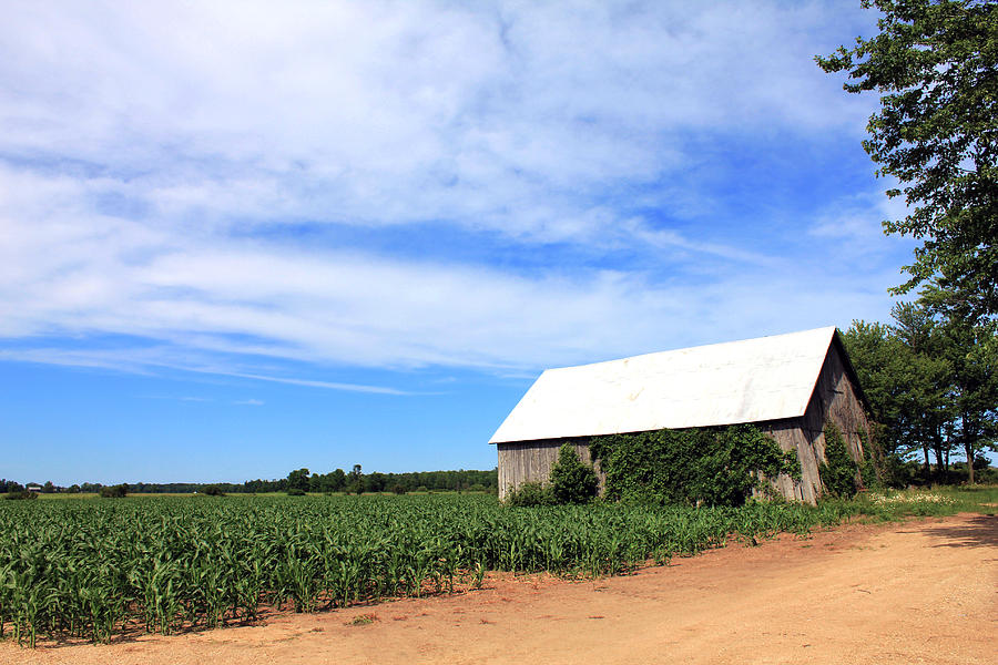 Corn Photograph - Corn Rows by Sheryl Burns