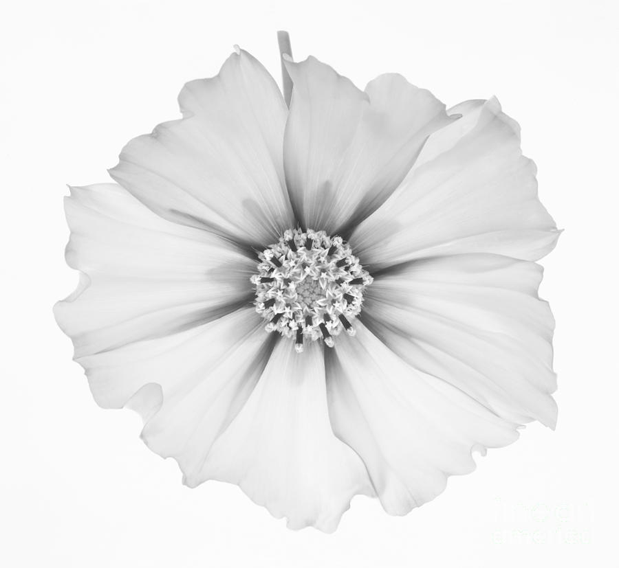 Cosmos Photograph - Cosmos Flower In Black And White. by Rosemary Calvert