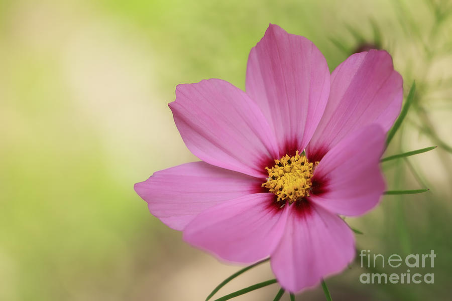Cosmos Photograph - Cosmos... by LHJB Photography