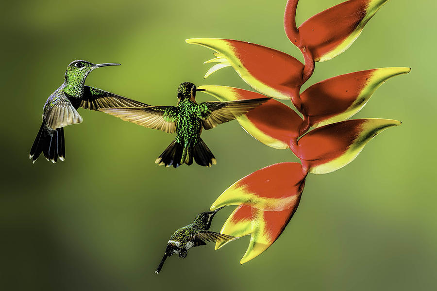 Animal Photograph - Costa Rican Hummingbirds by Myer Bornstein