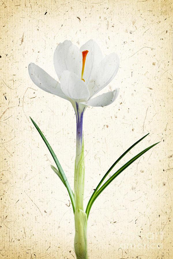 Flower Photograph - Crocus Flower by Elena Elisseeva
