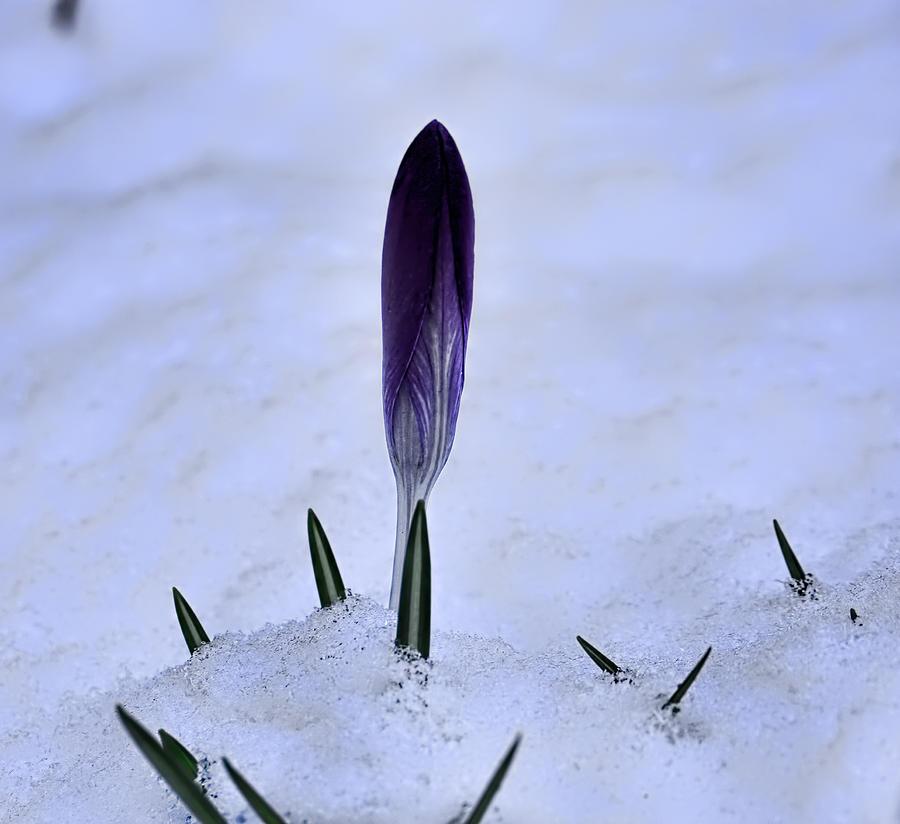 Crocus Photograph - Crocus In Snow by Leif Sohlman