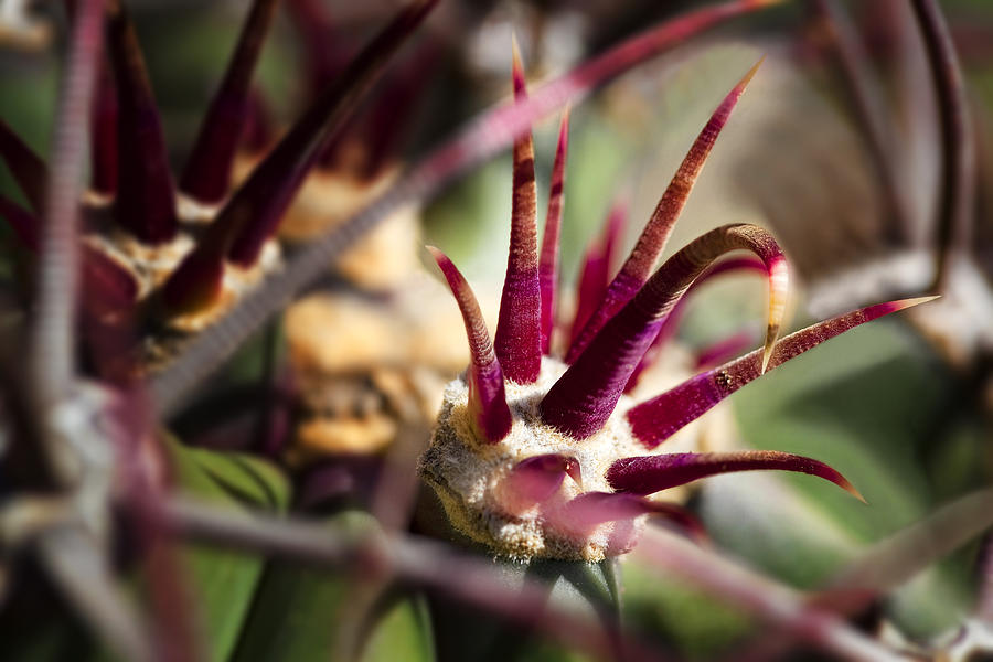 Cactus Photograph - Crown Of Thorns by Kelley King