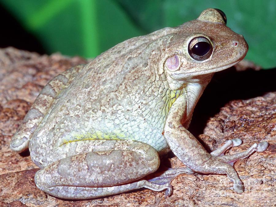 Fauna Photograph - Cuban Tree Frog Osteopilus by Millard H. Sharp