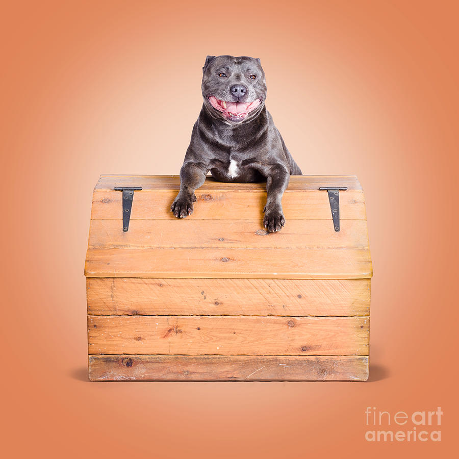 Smiling Photograph - Cute Purebred Blue Staffy Dog Posing On Wooden Box by Jorgo Photography - Wall Art Gallery