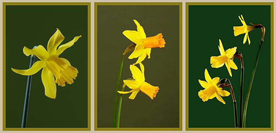 Daffodil Photograph - Daffodil Triptych by Pete Hemington