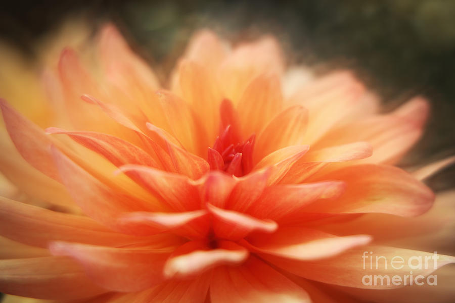 Macro Photograph - Dahlia Blooming by LHJB Photography