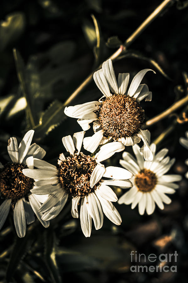 daisy flowers dying slow death. pushing up daisies photograph by, Beautiful flower