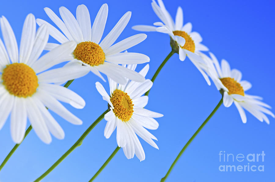 Daisy Photograph - Daisy flowers on blue background by Elena Elisseeva