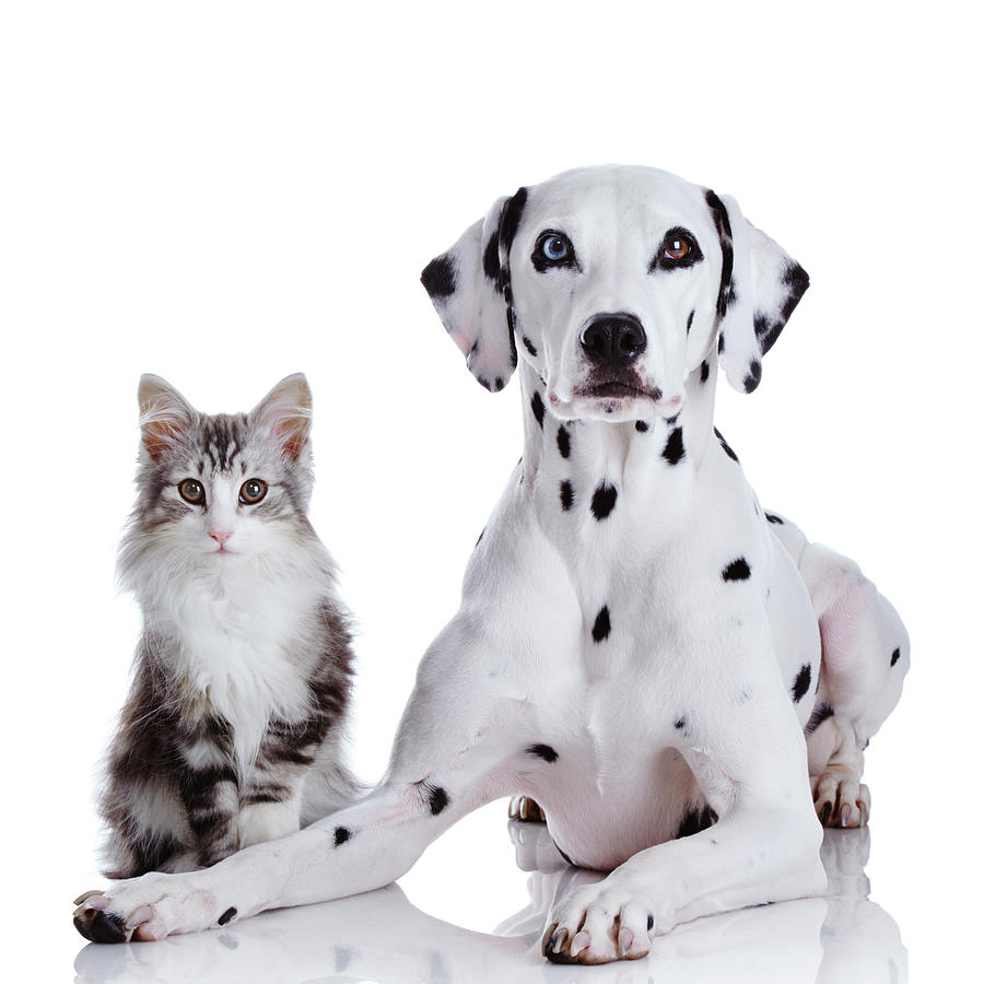 Dalmatian Dog And Norwegian Forest Cat Photograph by Tetsuomorita