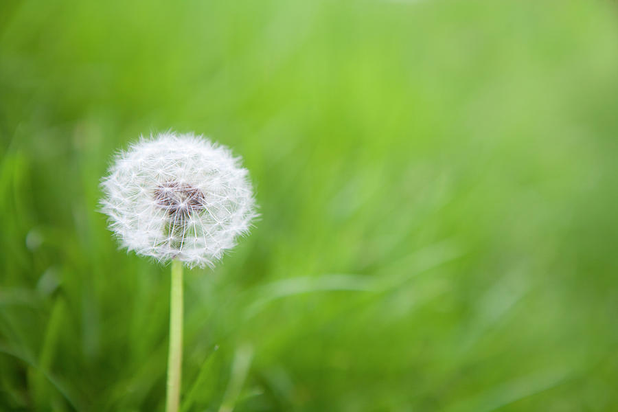 Dandelion Photograph by James French