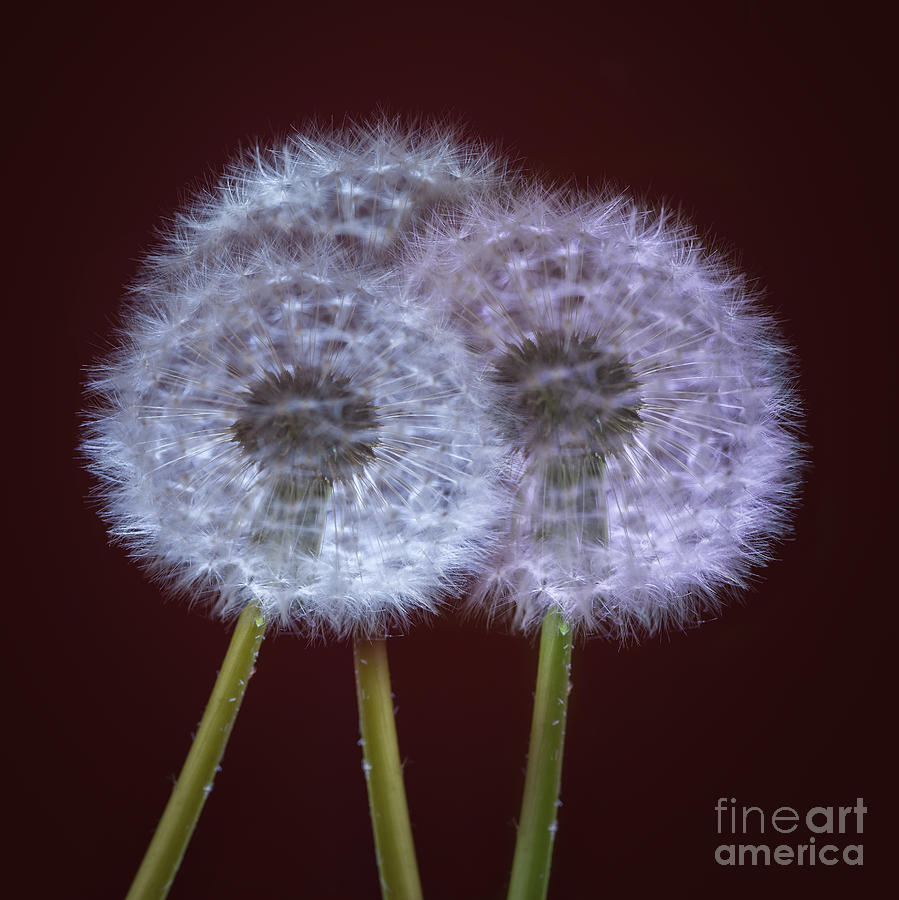 Dandelion Photograph - Dandelions by Donald Davis