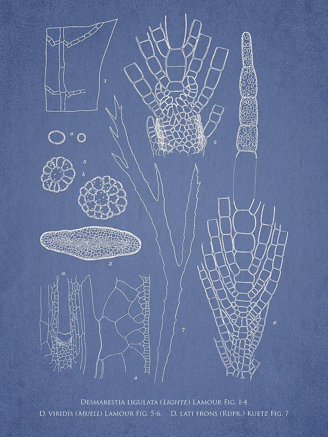 Algae Drawing - Desmarestia Ligulata by Aged Pixel