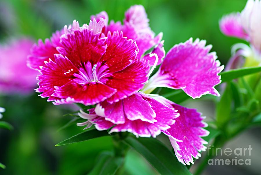 Nature Photograph - Dianthus by Larry Ricker