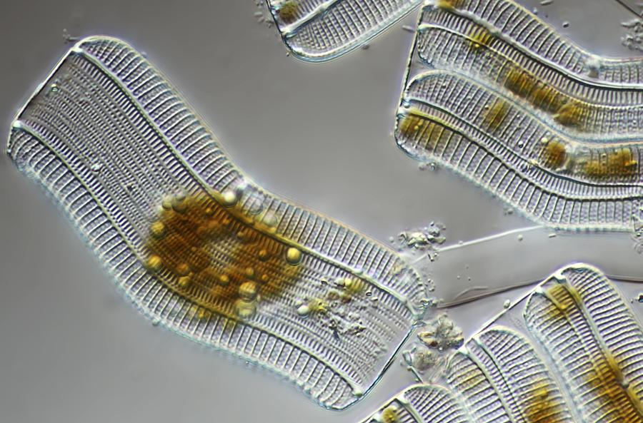 Alga Photograph - Diatoms, Light Micrograph by Science Photo Library