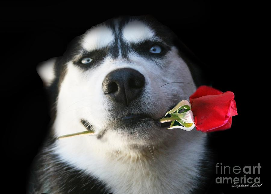Husky Photograph - Do You Tango by Stephanie Laird