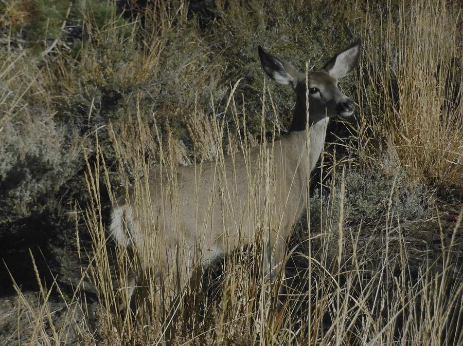 Doe Mule Deer by Don Kreuter