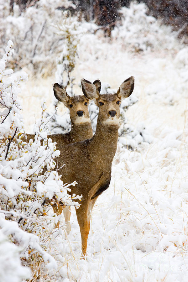 Doe Mule Deer In Snow Photograph