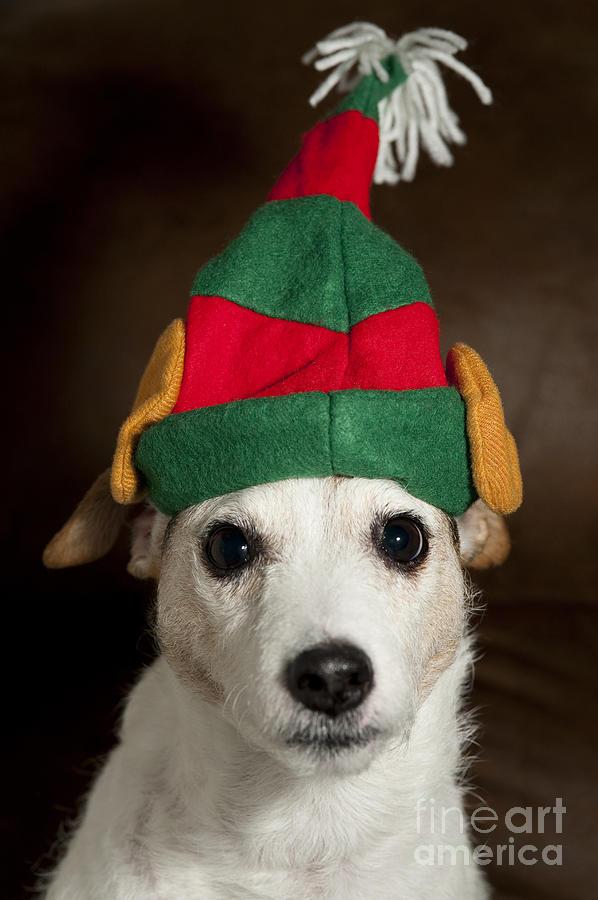 Christmas Decorations Photograph - Dog Wearing Elf Ears, Christmas Portrait by Jim Corwin