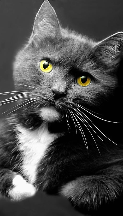 Cat Photograph - Domestic Gray And White Short Hair by Diana Angstadt