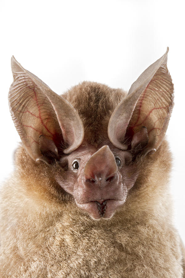 Dorbignys Round-eared Bat Suriname Photograph by Piotr Naskrecki
