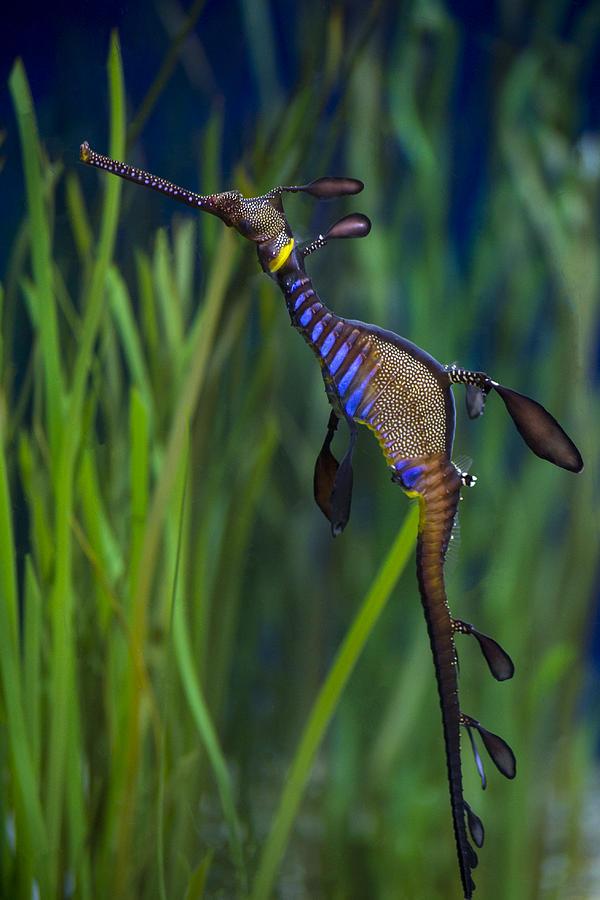 Seahorse Photograph - Dragon Seahorse by Diego Re
