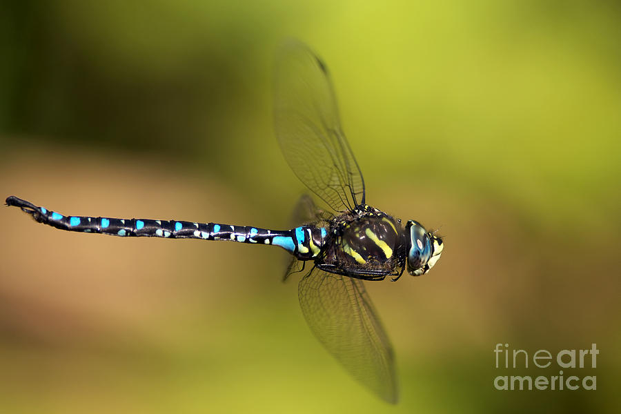 Dragonfly Photograph - Dragonfly by Sharon Talson