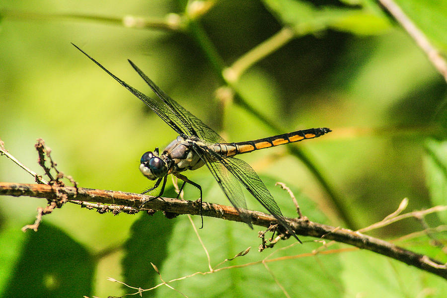 Dragonflies Photograph - Dragonfly by Steven  Taylor