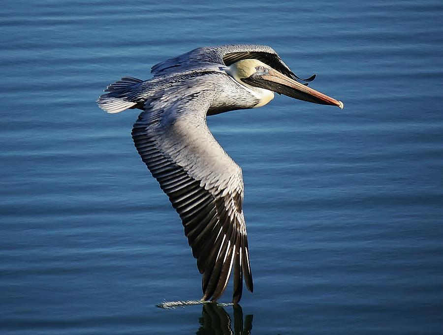 Pelican Photograph - Drawing A Line In The Water by Paulette Thomas
