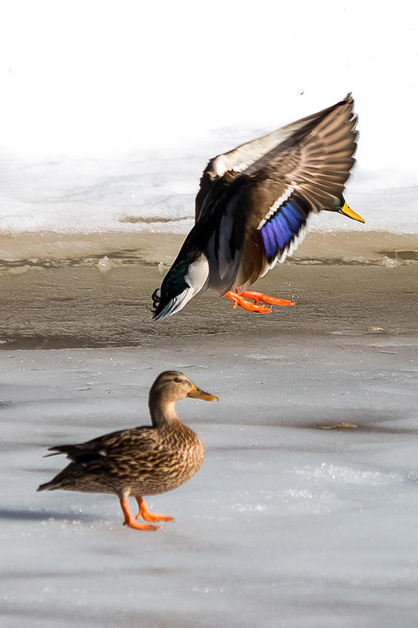 Aquatic Photograph - Ducking Around by Gaurav Singh