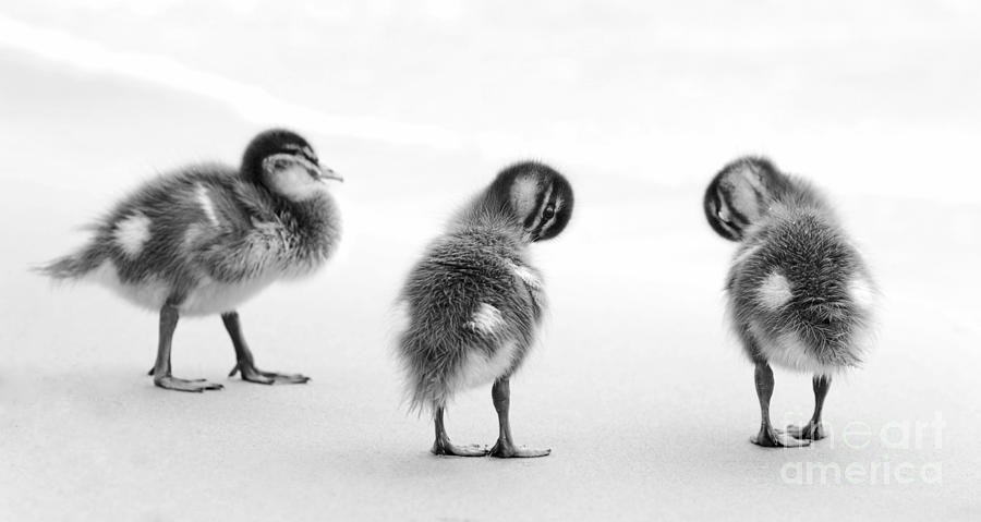 Ducklings Black And White Photograph