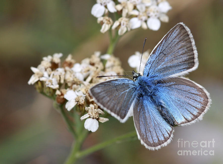 Eastern Baton Blue Photograph - Eastern Baton Blue  by Amos Dor