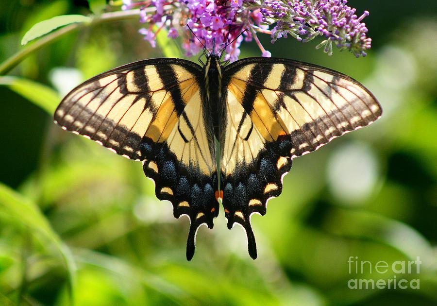 Butterfly Photograph - Eastern Tiger Swallowtail Butterfly by Karen Adams